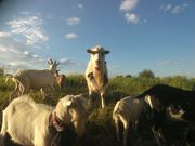 Продаю козла породистого